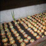 плесень на луковицах