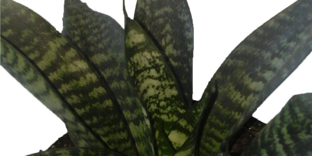 сансевиерия hahnil