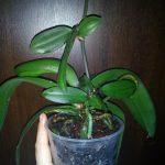 орхидея Фаленопсис Биг Лип