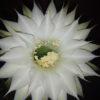 кактус Эхинопсис