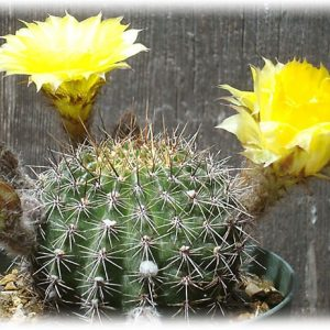 кактус Эхинопсис Золотистый