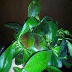 Синадениум Рубра (Synadenium Rubra) Дерево Любви