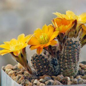 кактус mediolobivia pygmaea diersiana rh 530