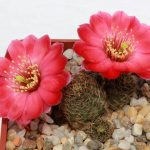 кактус mediolobivia pygmaea gavazzii r 493