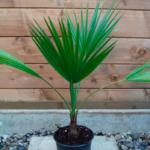 пальма брахея, брагея