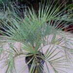 пальма бутия, буция