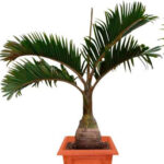 пальма гиофорба бутылочная пальма