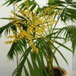 пальма хамедорея бамбуковая пальма