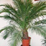 пальма робелена