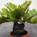 пальма замия картонная пальма