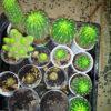 кактусы Эхинопсисы