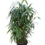 арундинария комнатный бамбук