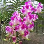 орхидея аэридес, эридес