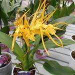 орхидея брассия, орхидея паук