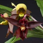 орхидея катасетум