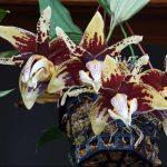 орхидея стангопея, орхидея бык
