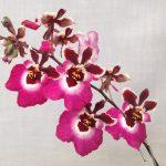 орхидея толумния