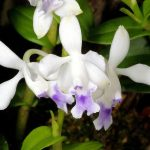 орхидеяэпидендрум
