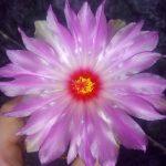 кактус Телокактус (хаматокактус)