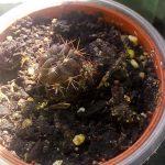 кактус Лобивия