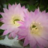 кактус Эхинопсис Эйриеза (Echinopsis eyriesii)
