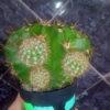Кактус Эхинопсис Echinopsis Eyriesii