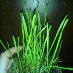 пшено, трава для котов